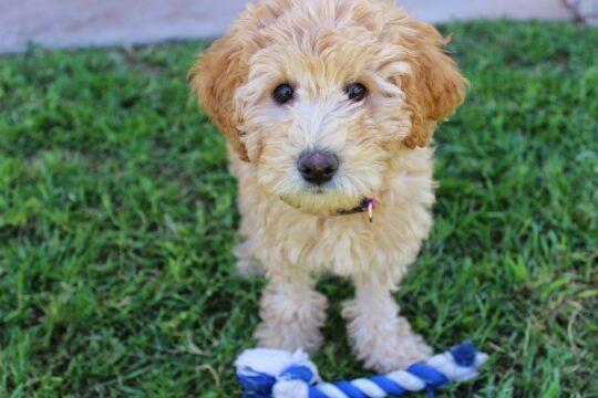 Allergivänlig hund – Vilka raser är allergivänliga?