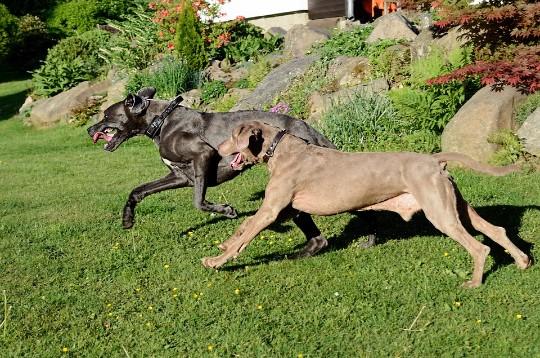 Varldens storsta hundar
